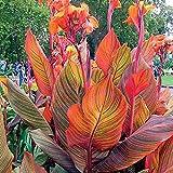 Canna Knollen,Indisches Blumenrohr,Reich Und Bunt,Starke Wurzeln,Einfach Zu ZüChten,Mach Leute GlüCklich,Einfache Pflege-5 Knollen,2