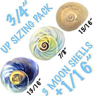"""THE OTHER TIDE Hermit Crab Shells Up-Sizing"""" Medium Seashell Pack 3 Colorful Moon Shells +1/16"""