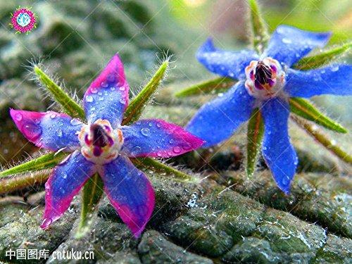 20PCS Rare Bleu bourrache semences Bonsai Fleurs Graines Légumes et cuisine Assaisonnement plantes comestibles Graines de vanille plantes vivaces 5