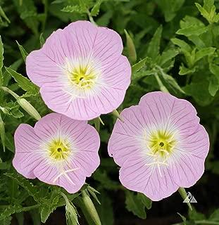 Best primrose flower pink Reviews