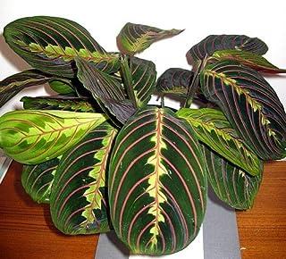 Red Prayer Plant - Maranta - Easy to Grow House Plant - 4