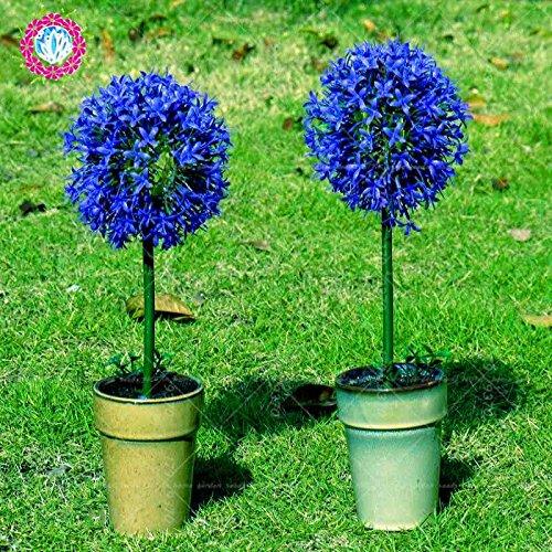 100pcs Rare géant Allium Giganteum Bonsai seeds.Blue Allium graines en pot de fleurs vivaces, finition des pelouses et l'aménagement paysager. Variétés 1