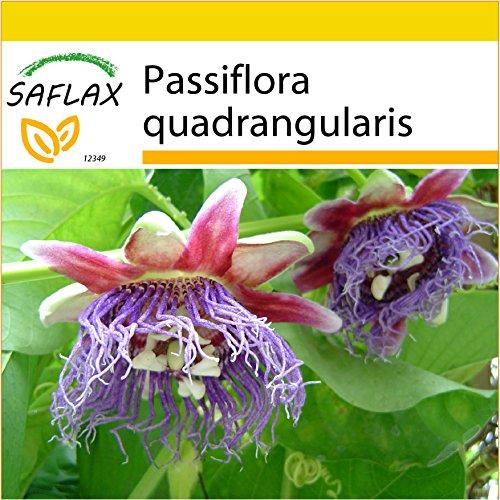 SAFLAX - Anzucht Set - Riesengranadilla/Königsgranadilla - 12 Samen - Mit Mini-Gewächshaus, Anzuchtsubstrat und 2 Töpfen - Passiflora quadrangularis