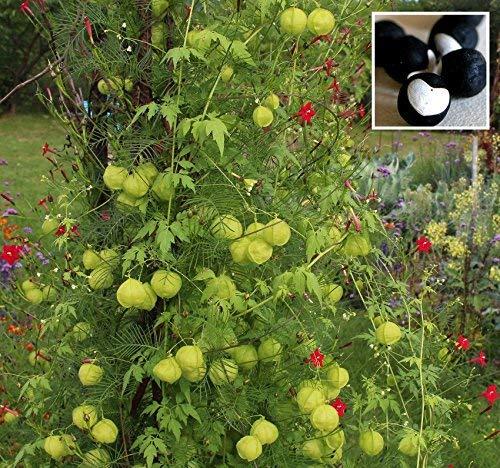 vegherb Frische 200 Seeds - Ballonrebe Vine Seeds