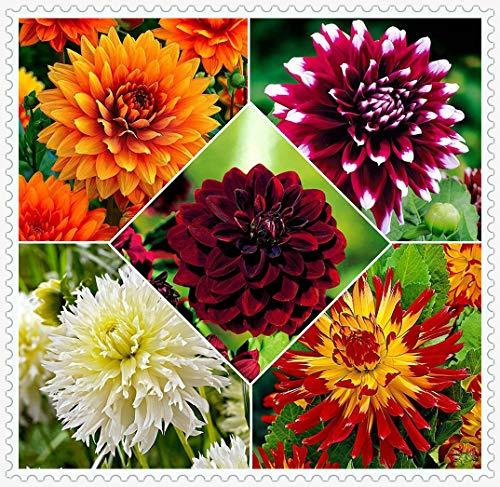 Dalias Bulbos,Planta de dalia de pétalos grandes en cuatro colores maravillosos, alta tasa de supervivencia, decoración de balcón de jardín en casa-5bulbos