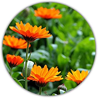 Ringelblume/Calendula officinalis/ca. 50 Samen/Heilpflanze entzündungshemmend / für Tee- und Salbenzubereitung