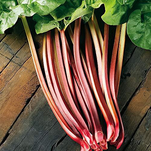 Rhabarbarum Pflanzen | 5 Rheum Rhabarbarum Pflanzen | Lieferung als nicht getopfte Pflanze