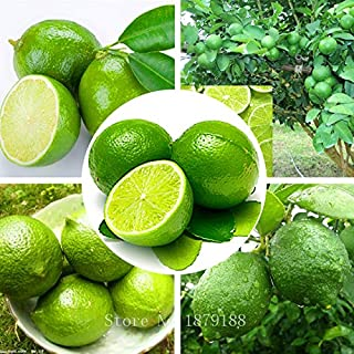 Thai Organic Key Lime Seeds Citrus Aurantifolia Lemon Seeds Fruit Seeds 20PCS
