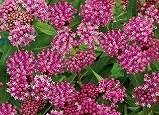 Swamp milkweed, rose milkweed, rose milkflower, swamp silkweed, white Indian hemp Cinderella - seeds