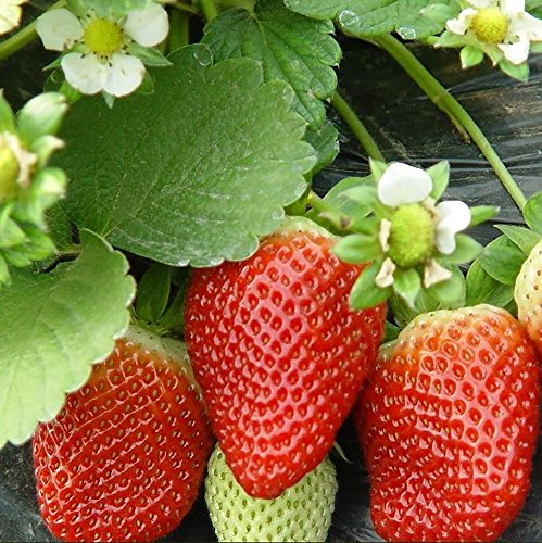 2016Hot Vente NOUVELLES ET MAGIC 600pcs Red Giant Strawberry Graines Fruits gros ornemental Home Office Plant Support