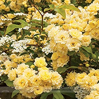 Go Garden Heirloom39; Lady Banks39; Yellow Climbing Rose Flower Old-Fashioned Strong Fragrant High Germination -50pcs/Pack