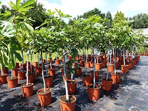 Feigenbaum 180 cm hell oder dunkel, winterhart, Ficus Carica, Feige, Obstbaum