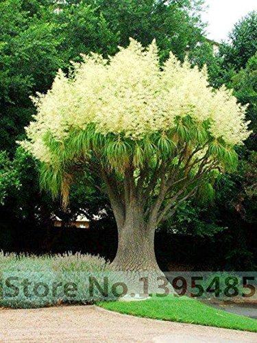 Grosses soldes! 20pcs / sac décoratif jardin cour, 90% le taux de germination des graines de fleurs d'acacia - Arcis nouvelles