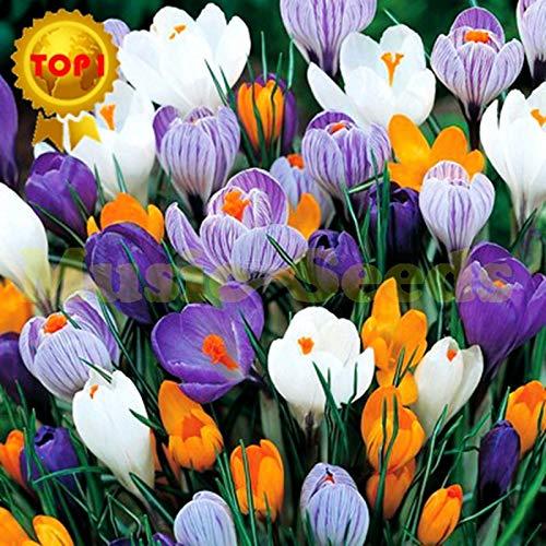 AGROBITS 100pcs Vente Hot crocus sativus japonais Seeds graines de fleurs arc-en-Bonsai Tomate cerise Bio Accueil & amp; Jardin