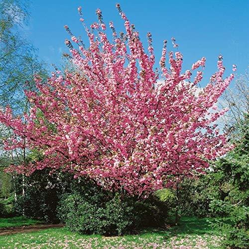 Prunus serrulata Kanzan auf Stamm - Japanische Nelkenkirsche (Höhe: 250 cm/Sth. 180 cm) + Dünger