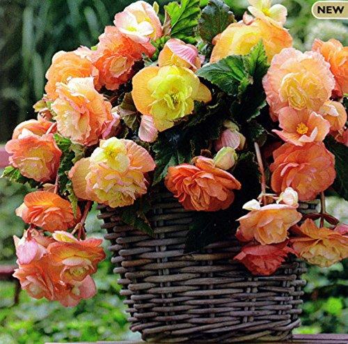 Splendide Ballerina Apricot Begonia - 2 Bulbs 5/6 cm