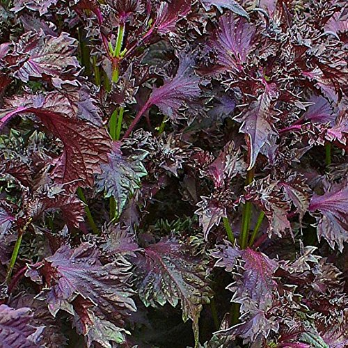 Perilla rot - Shiso - Asia Gewürz - Perilla frutescens var. crispa - 500 Samen