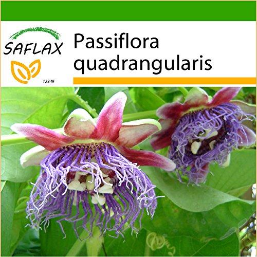 SAFLAX - Riesengranadilla/Königsgranadilla - 12 Samen - Mit keimfreiem Anzuchtsubstrat - Passiflora quadrangularis
