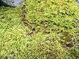 "Fern Moss Live for Terrariums, Bonsai and Kokedamas House Plants - 9""x12"" Sheet"