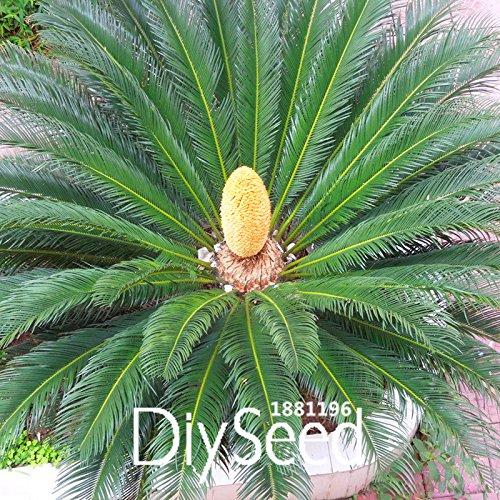 Nouvelles Graines 2015! Graines Cycas Graine de plantes en pot de fleurs des articles de bricolage jardin ménage 10 PCS / Lot Cycas Seeds, # O42DTC