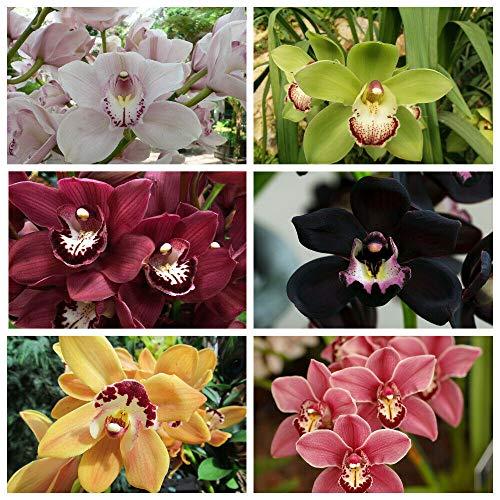 Exotique Fleurs d'orchidée Phalaenopsis Graine de plein air Bonsai Pot décoratif jardin bricolage Belle Plantes d'intérieur 200pcs/sac
