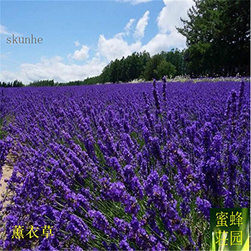 Plantes Blooming Offre Embellir Tempéré régulières exclus Balcon Petit Mini Graines Plantes de parfum 100 graines (Xun yi cao)