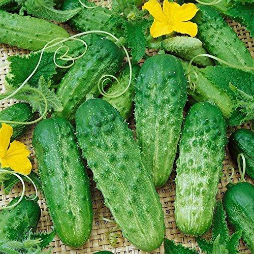 Delaman Mini concombre cornichon légumes graines de fruits pour jardin 10pcs