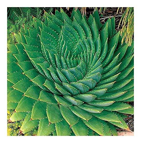 Aloe polyphylla - Aloe - 3 graines
