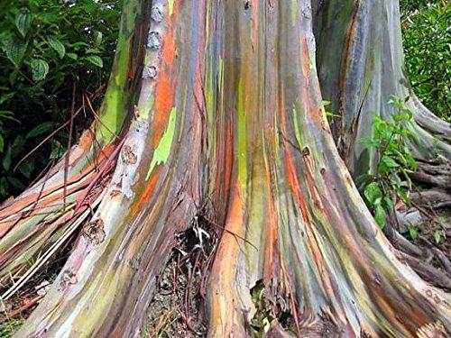 50 Semillas de SF063 eucalipto del arco iris (Eucalyptus deglupta)
