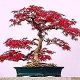 100 JapaneseMapleTree Seeds - Acer...