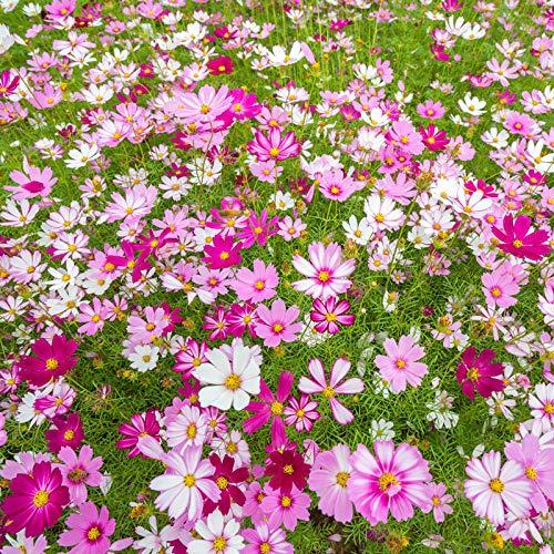 JKCTOPHOME Semillas de Flores de Colores Mezclados,Cosmos Seeds-High Pole Mix_1000 cápsulas,Purifica Las Flores del Aire