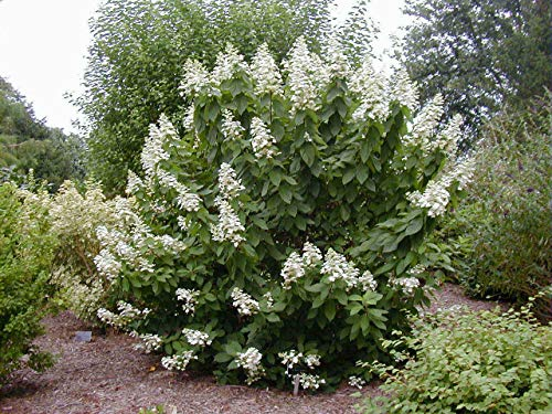 Tardiva绣球花灌木 - 开花灌木 - 现场盆栽树 -  1加仑罐尺寸