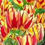 lamta1k 100 Pcs Vari¨¦t¨¦ Qualit¨¦ de la Graine de Tulipe et taux de Survie ¨¦lev¨¦ Belle Fleur Floral Home Garden Plant D¨¦coration - 3pcs bulbes de Tulipes Jaunes et Rouges
