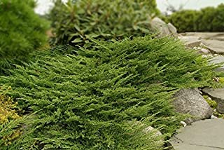 Prince of Wales Juniper Qty 30 Live Plants Groundcover