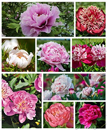 Cotton Candy Peony Mix (40+) Seeds Flowers Easy Grow Planting for Outdoor