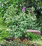 Fächerblattbaum Ginkgo biloba im Topf gewachsen ca. 60-80cm