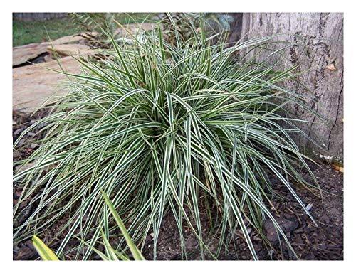 10 x Carex oshimensis 'Everest' 1 Liter (Ziergras/Gräser/Stauden) Japan Segge ab 3,19 € pro Stück