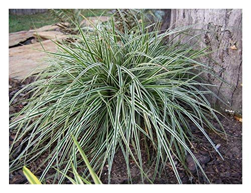 Carex oshimensis 'Everest' 1 Liter...