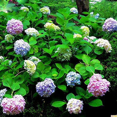 Semillas de Hortensia para Jardín