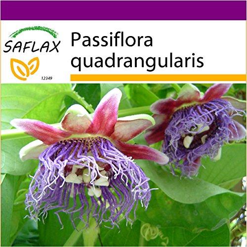 SAFLAX - Big Garden - Riesengranadilla/Königsgranadilla - 12 Samen - Mit Gewächshaus, Töpfen, Anzuchtsubstrat und Dünger - Passiflora quadrangularis