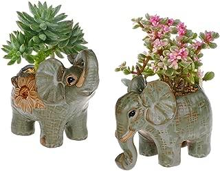 elephant plant bonsai