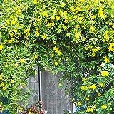pittospwer 50pcs Campsis Grandiflora Cinese Tromba pianta rampicante Semi di Fiori pianta da Giardino Campsis Grandiflora Seeds