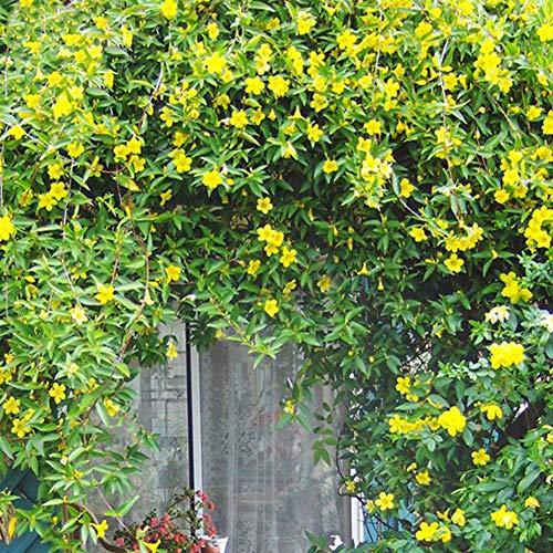 Centraliain Semillas De Campsis Grandiflora, 50 Piezas Campsis Grandiflora Chino Enredadera De Trompeta Semillas De Flores Planta De Jardín Semillas de Campsis Grandiflora
