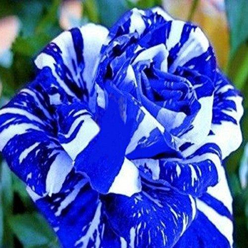 150PCS Blue Dragon Rose Seeds Rare beautiful stripe rose bush plant garden or yard flower