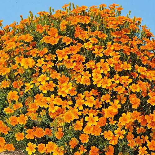 Qulista Samenhaus - Raritäten Kleinblütige Tagetes 'Luna Orange' Flächendecker Blumensamen winterhart mehrjährig, ideal für Sträuße