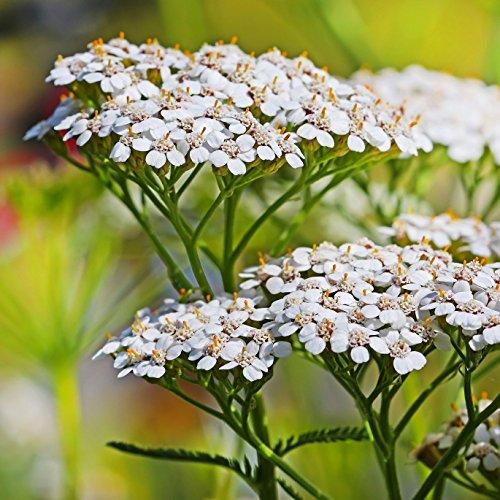 白色蓍草(Achillea millefolium)种子球,秋天或春天种植,散装种子炸弹游击队园艺(50)