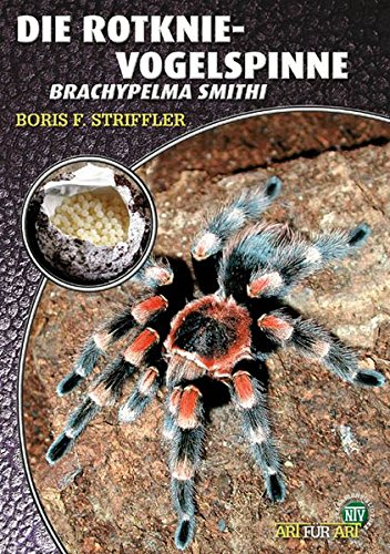 Die Rotknievogelspinne. Brachypelma smithi