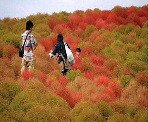 graines de gazon 100 graines / semences Paquet Herbe Buisson Ardent Kochia Scoparia Red Garden ornemental grandir facile