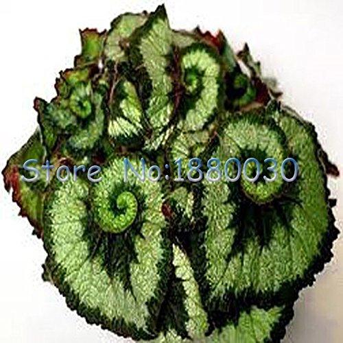 30PCS belle piante ornamentali di colore miscelazione spirale verde e nero Begonia fogliame paesaggio bonsai in vaso semi Coleus