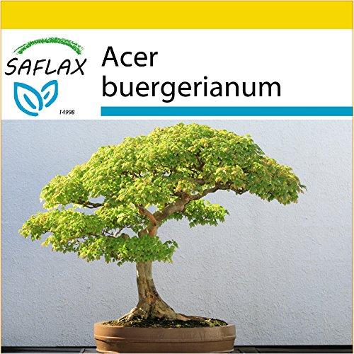 SAFLAX - Set de cultivo - Arce tridente - 30 semillas - Con mini-invernadero, sustrato de cultivo y 2 maceteros - Acer buergerianum
